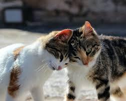 Beberapa Jenis Kucing Beserta Sifatnya